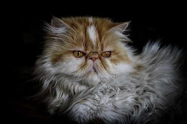 skąd-się-wziął-kot domowy