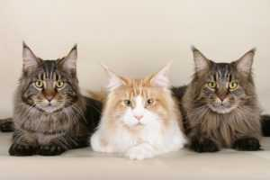 kot-maine-coon-charakter-choroby