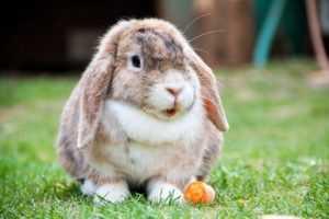 królik-domowy-opis-i-budowa-ciała