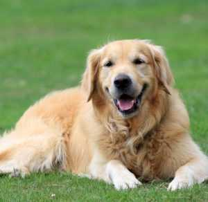 golden-retriever-opis-rasy
